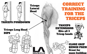 Correct biceps & triceps training